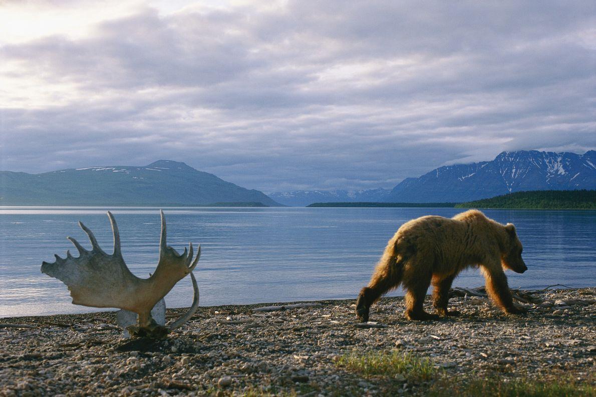 Foto de urso-pardo caminhando ao lado de uma galhada de alce com um lago e montanhas ...