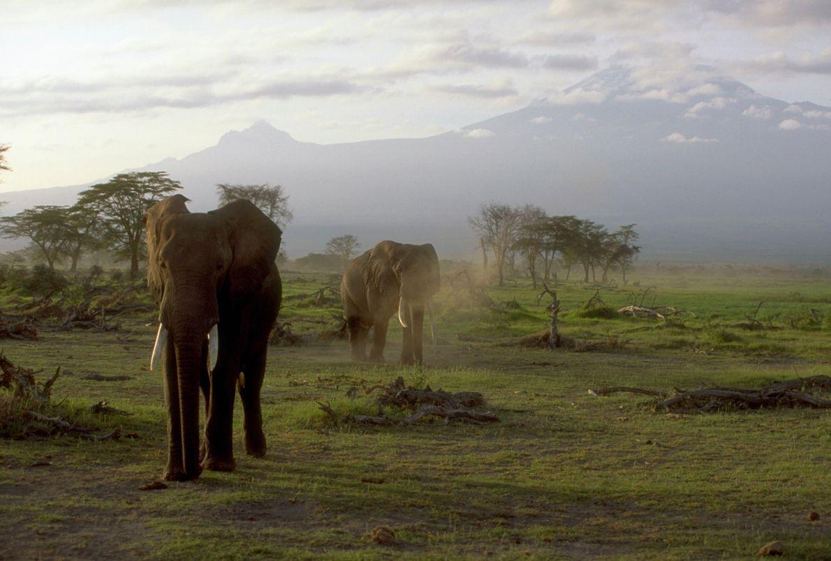 foto de elefantes africanos caminham em grama com o monte Kilimanjaro ao fundo