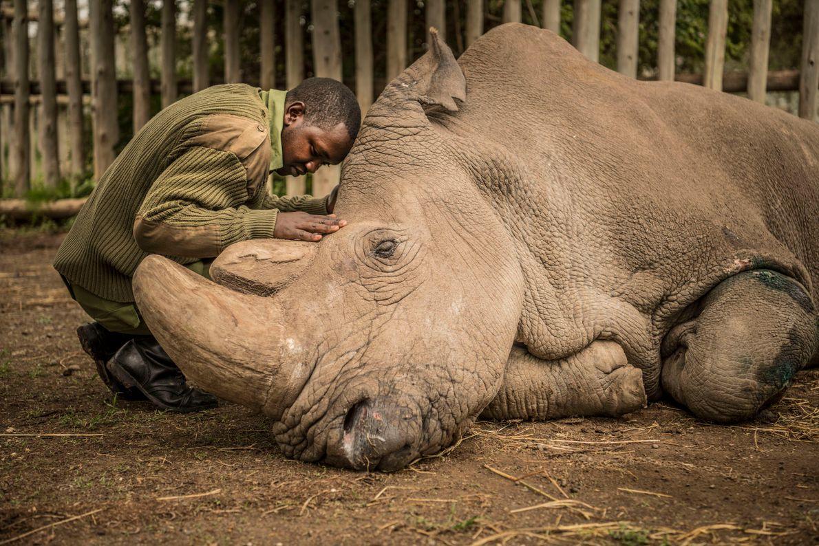 foto de guarda florestal fazendo carinho no rosto de um rinoceronte que está deitado