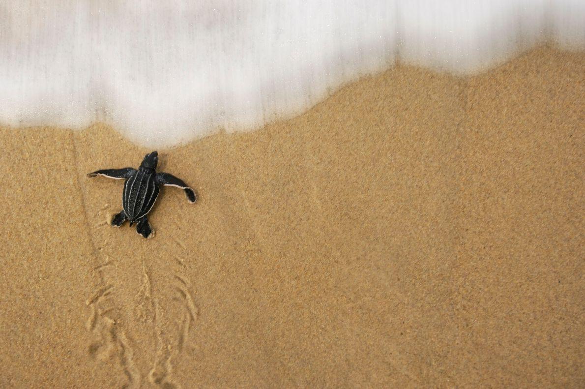 Foto de um filhote de tartaruga sobre a areia prestes a ser atingida por uma pequena ...