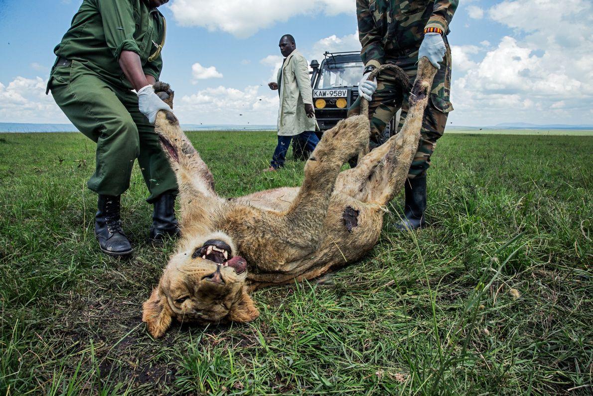 Este jovem leão foi dos três membros da famosa alcateia Marsh, do Quênia, a morrer em ...