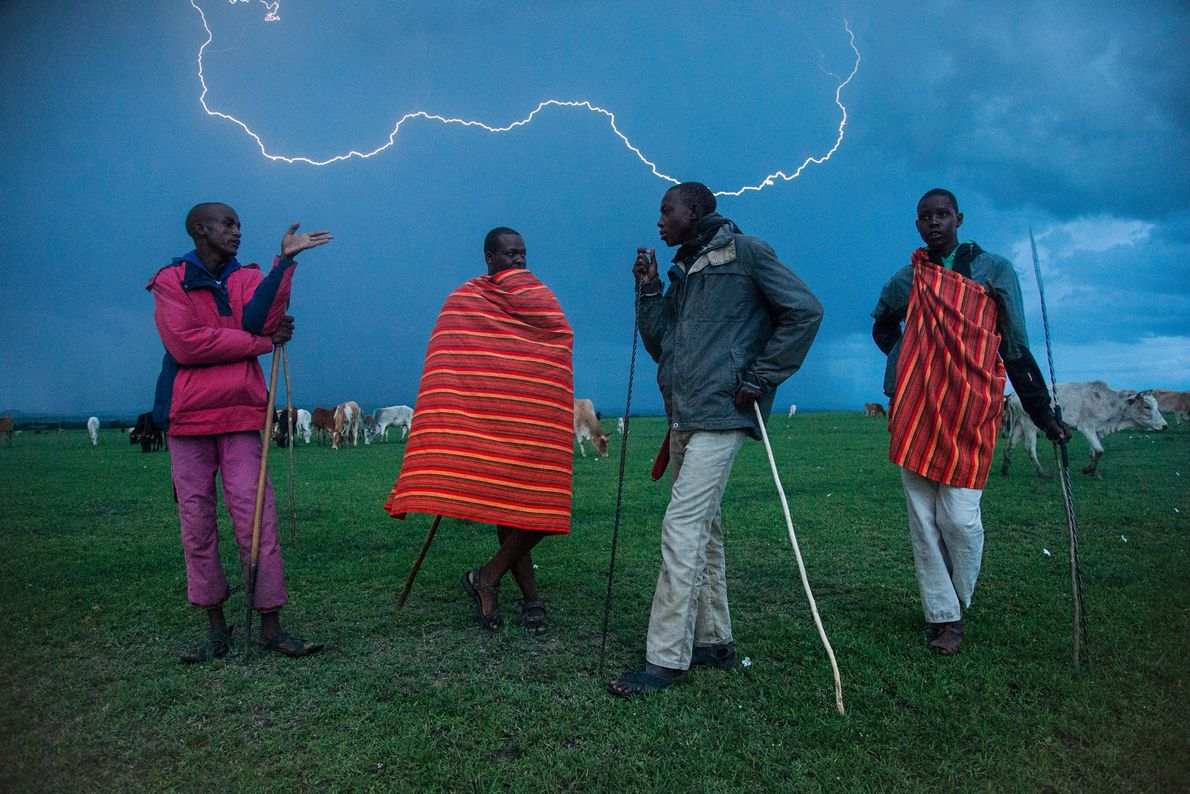 Os homens Maasai conduzem o gado e as ovelhas de suas vilas até a reserva de ...