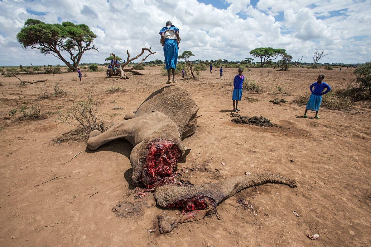 Uma menina Maasai pula na carcaça de uma elefante de 52 anos perto do Parque Nacional ...