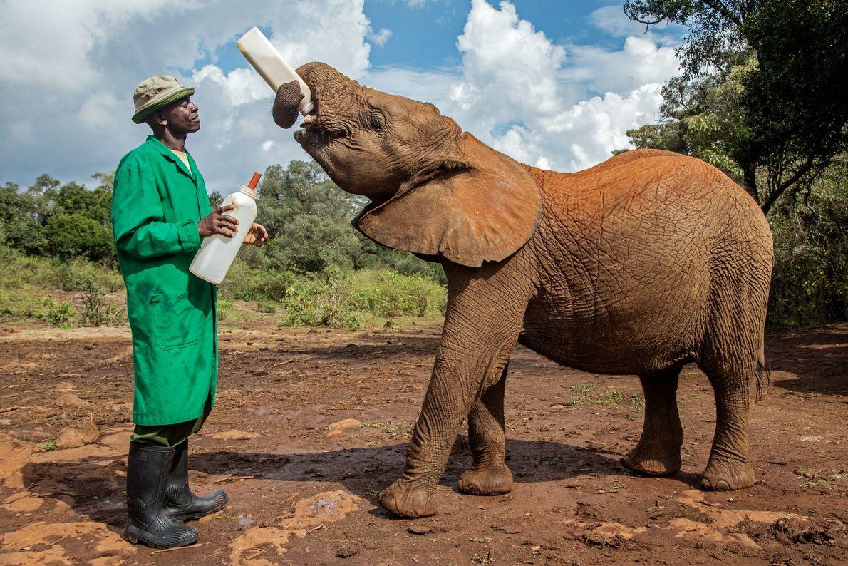 Este jovem elefante, cuidado com carinho em um santuário em Nairóbi, ficou órfão no Masai Mara ...
