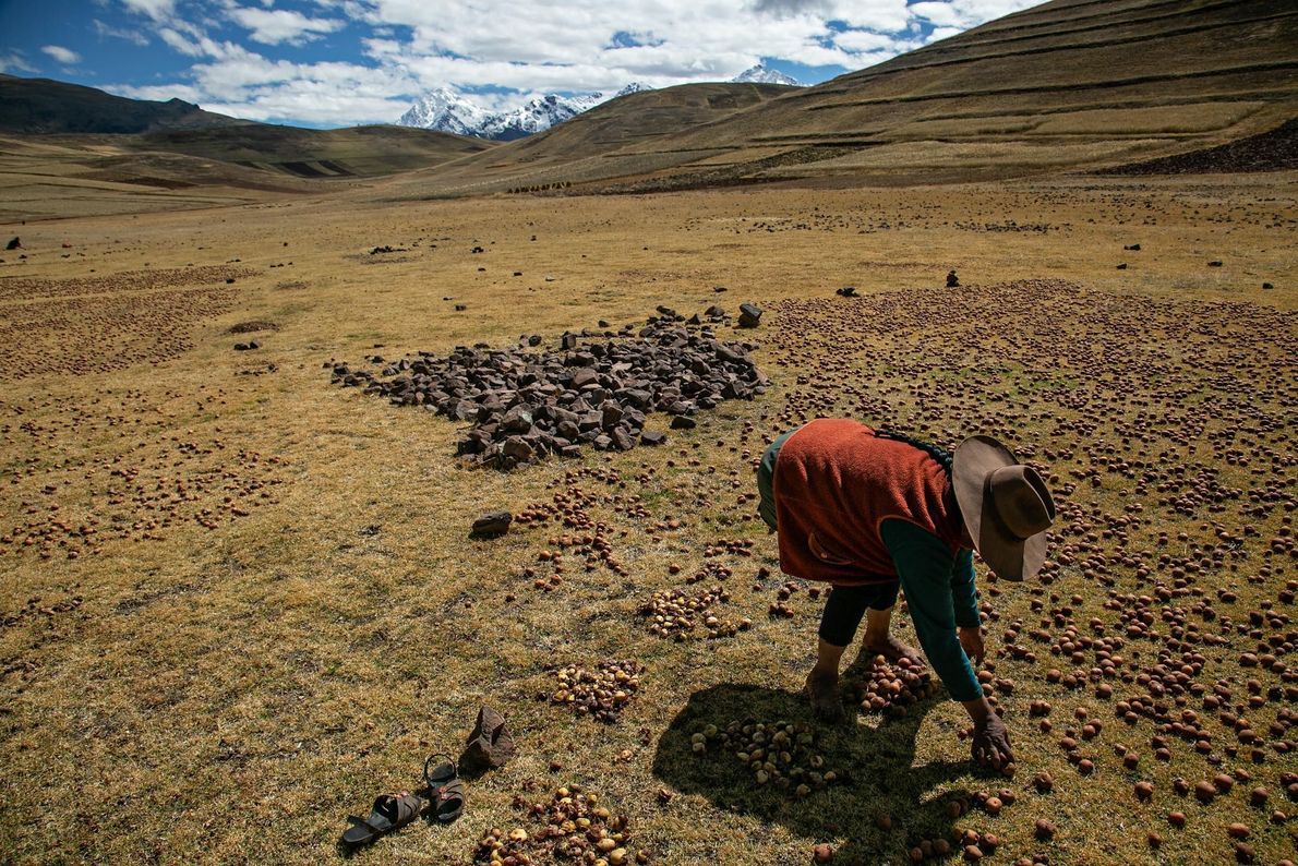 Claudia Carihuman colhe batatas em um campo em Kacllaraccay.