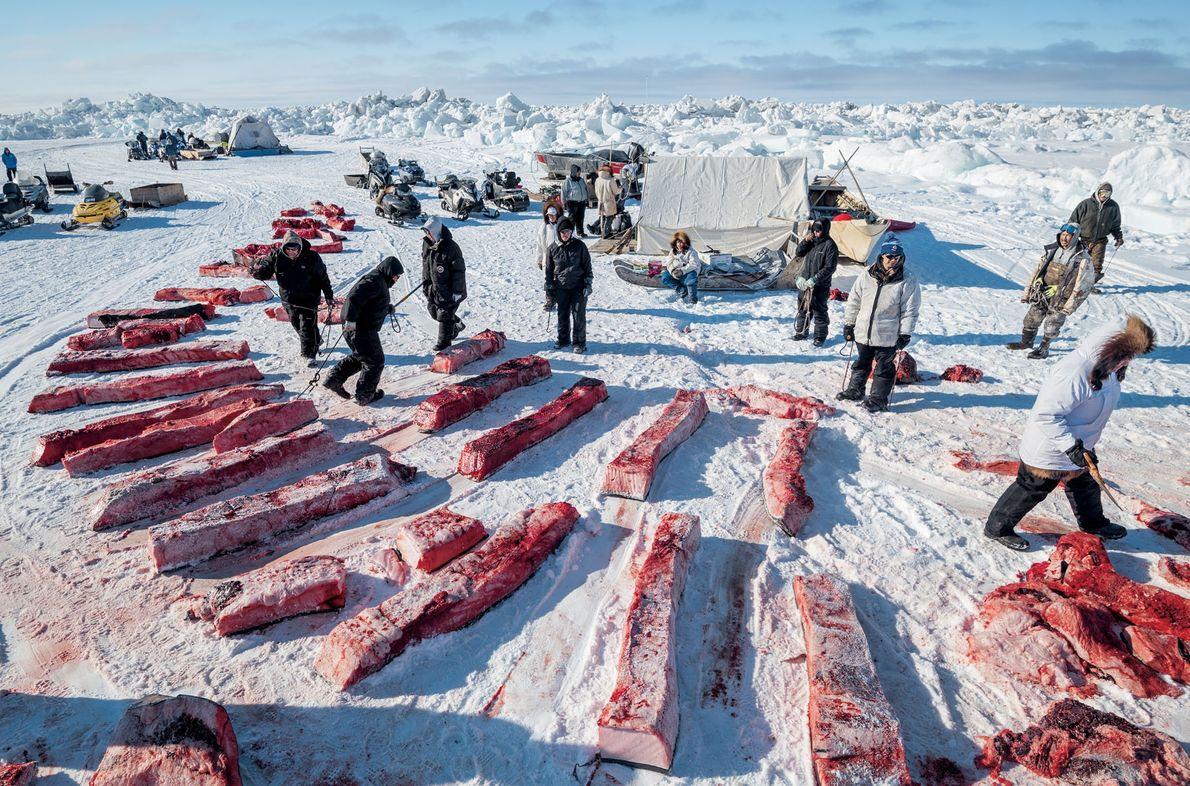 Uma baleia-da-groenlândia abatida pode render toneladas de comida. O ninit – partilha comunitária de carne e ...