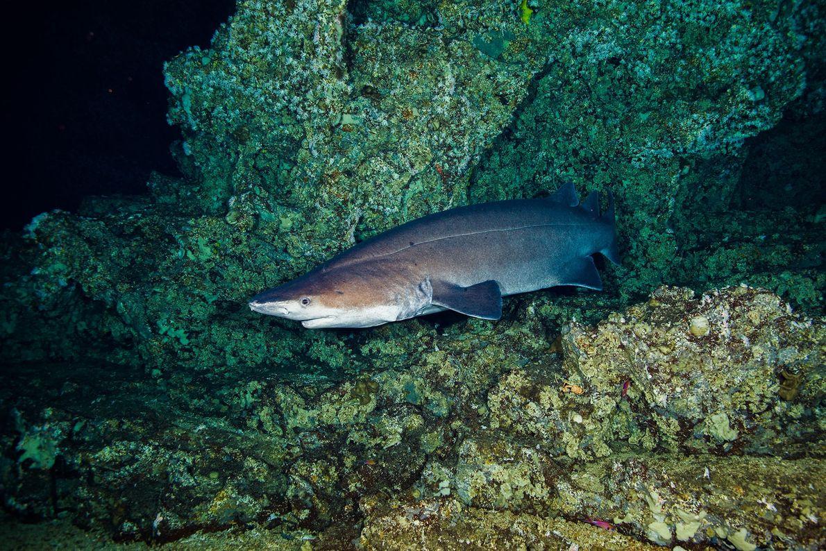 Tubarão-espinhoso: A aparência do tubarão-espinhoso é tão estranha quanto seu nome. Esse tubarão atarracado de fundo ...