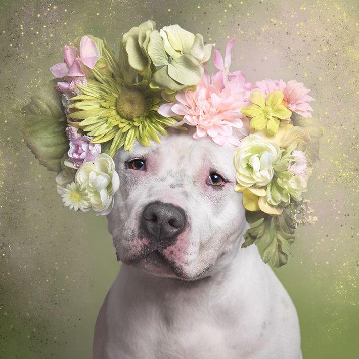 05-pitbull-adocao-flores-ensaio-fotografico