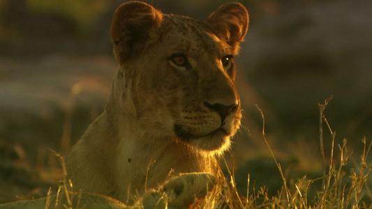 Babuínos são presas fáceis para leões famintos? Não neste parque na Tanzânia.