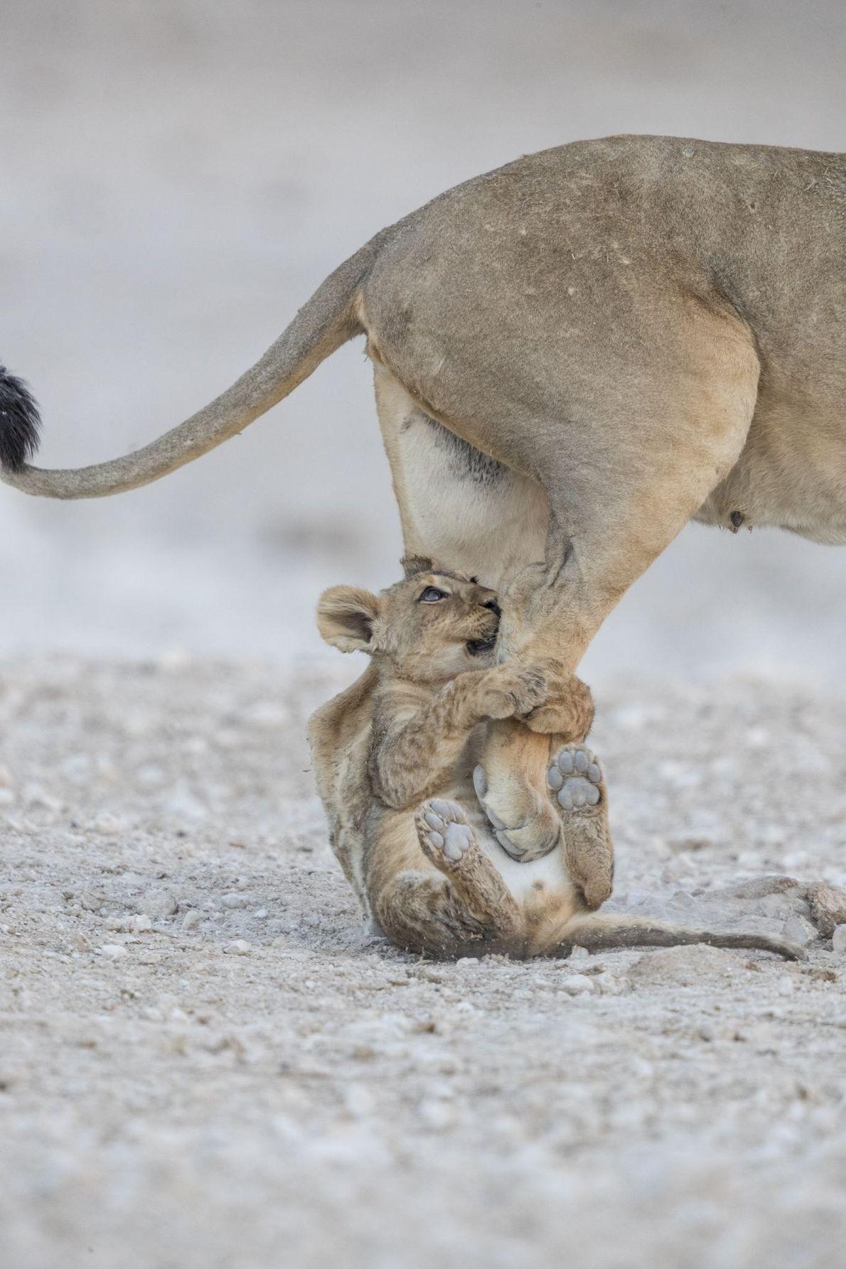 """""""Uma leoa e seu filhote. No momento da foto, outros leões se espalhavam pela floresta, em ..."""