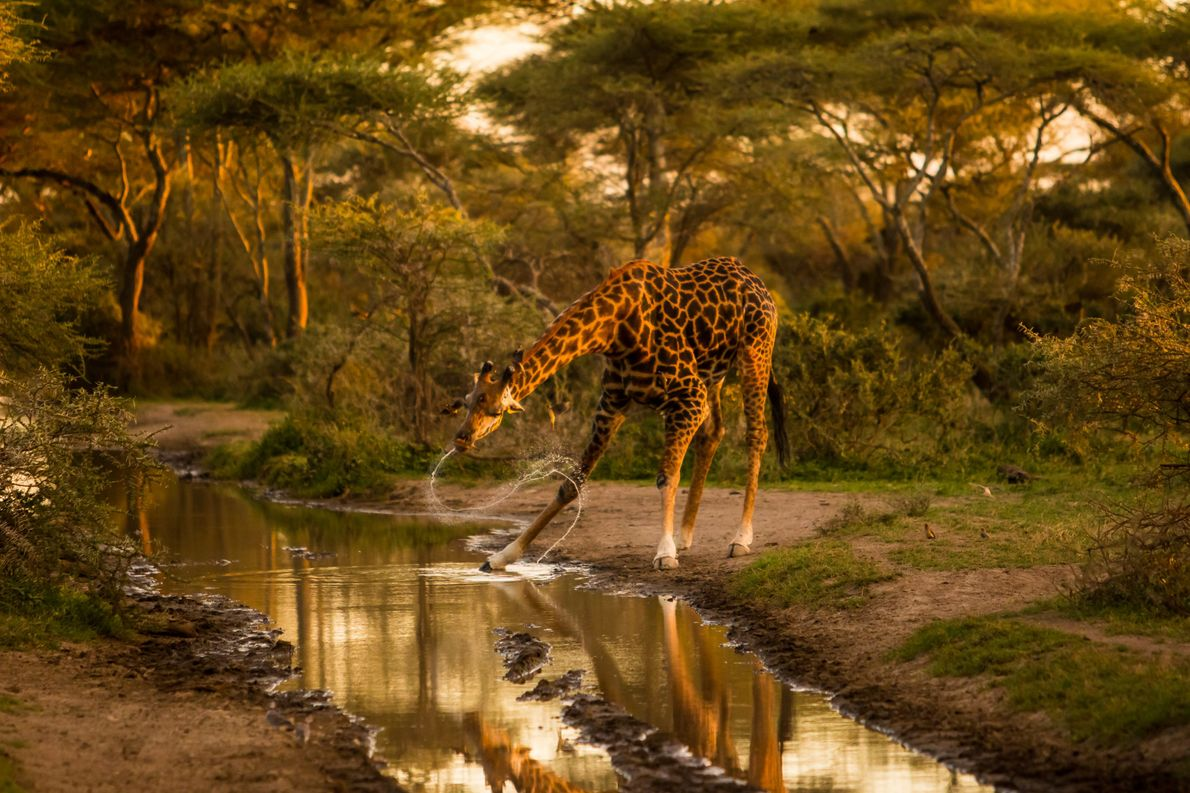 Foto de uma girafa balançando a cabeça