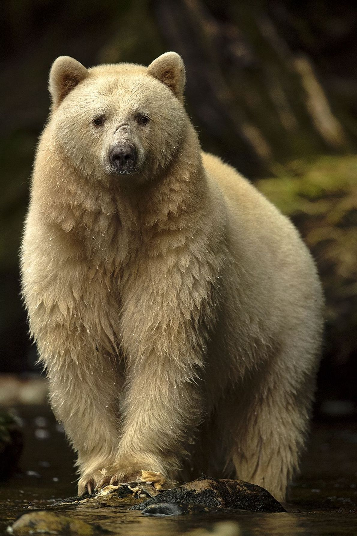 Great Bear Rainforest, British Columbia