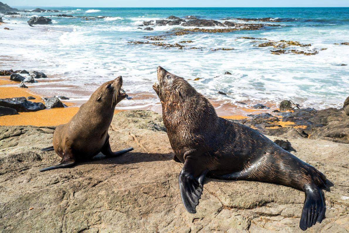Lobos-marinhos-da-nova-zelândia brigam