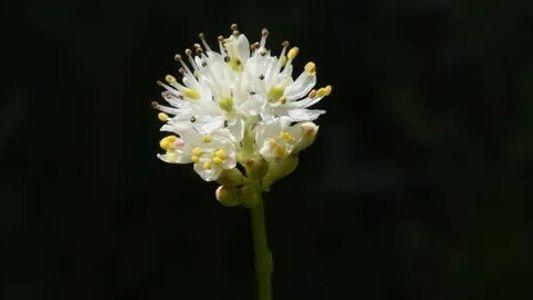 Novo tipo de planta carnívora encontrada em pântanos montanhosos