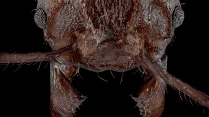 Formigas-cortadeiras possuem armadura mineral de cristais, algo nunca observado em insetos