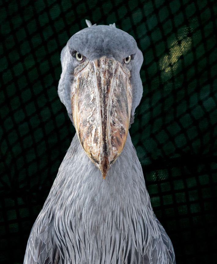 portfolio-aves-ameacadas-bico-de-tamanco