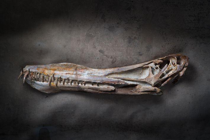 Eriçado de dentes para a captura de peixes, este fóssil de Anhanguera piscator conserva o formato ...
