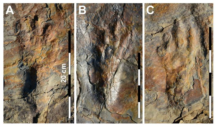 Fotografias das pegadas bem preservadas do parente dos crocodilos, o Batrachopus grandis.