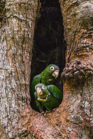 Um casal de papagaios-de-porto-rico usando coleiras com radiotransmissores espia pela cavidade do ninho. As coleiras ajudam ...