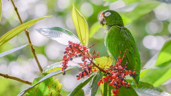 Um papagaio-de-porto-rico que acabou de ser solto na natureza come o fruto da miconia. Restam somente ...