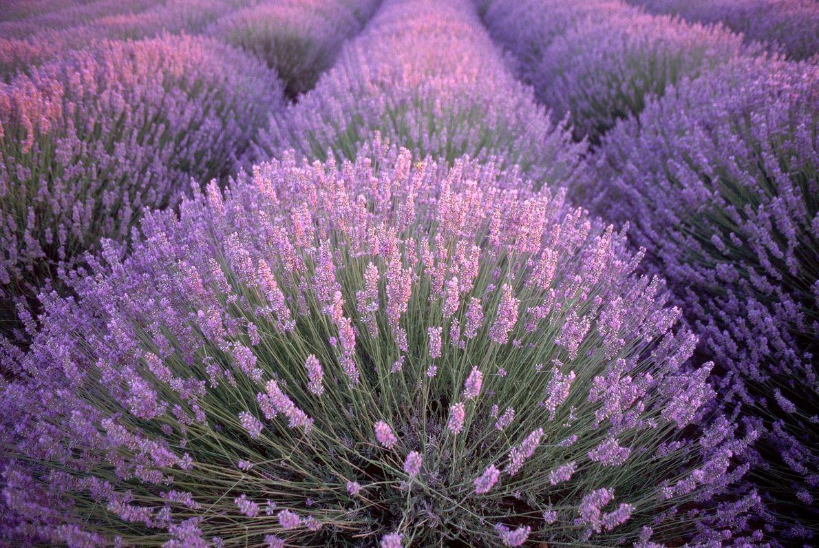lilas-flores-de-lavanda-franca