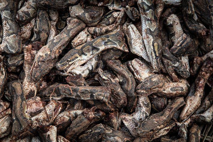 No Benin, onde o vodu é uma religião oficial, cabeças de píton-real são vendidas no mercado ...