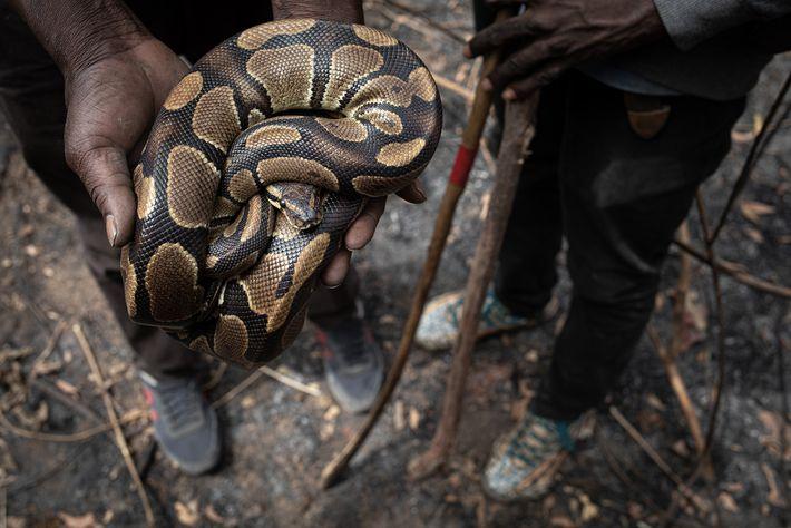Caçadores emGana mostram uma píton-real fêmea que acabou de ser retirada de sua toca. Gana, Togo ...