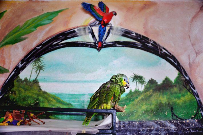 Um tímido papagaio-do-mangue senta-se sobre uma gaiola na fundação de Wilson, onde um punhado de voluntários ...