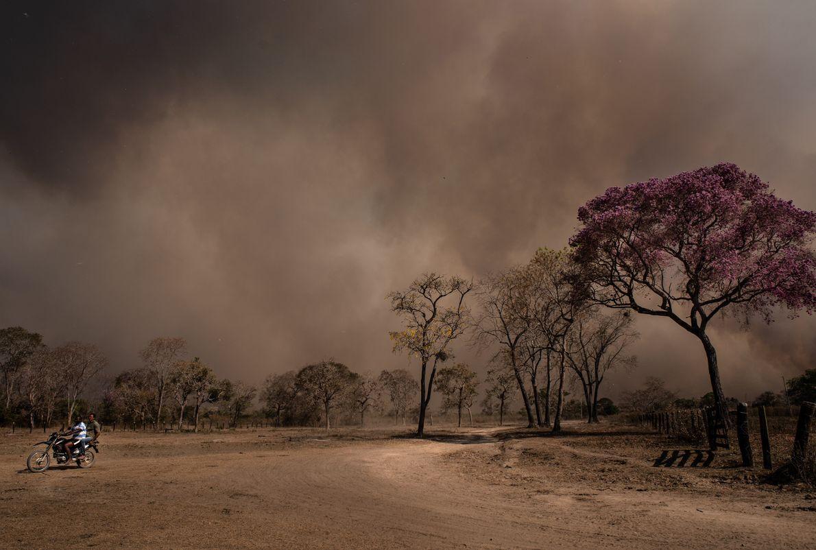 Ipê-roxo em meio a fumaça