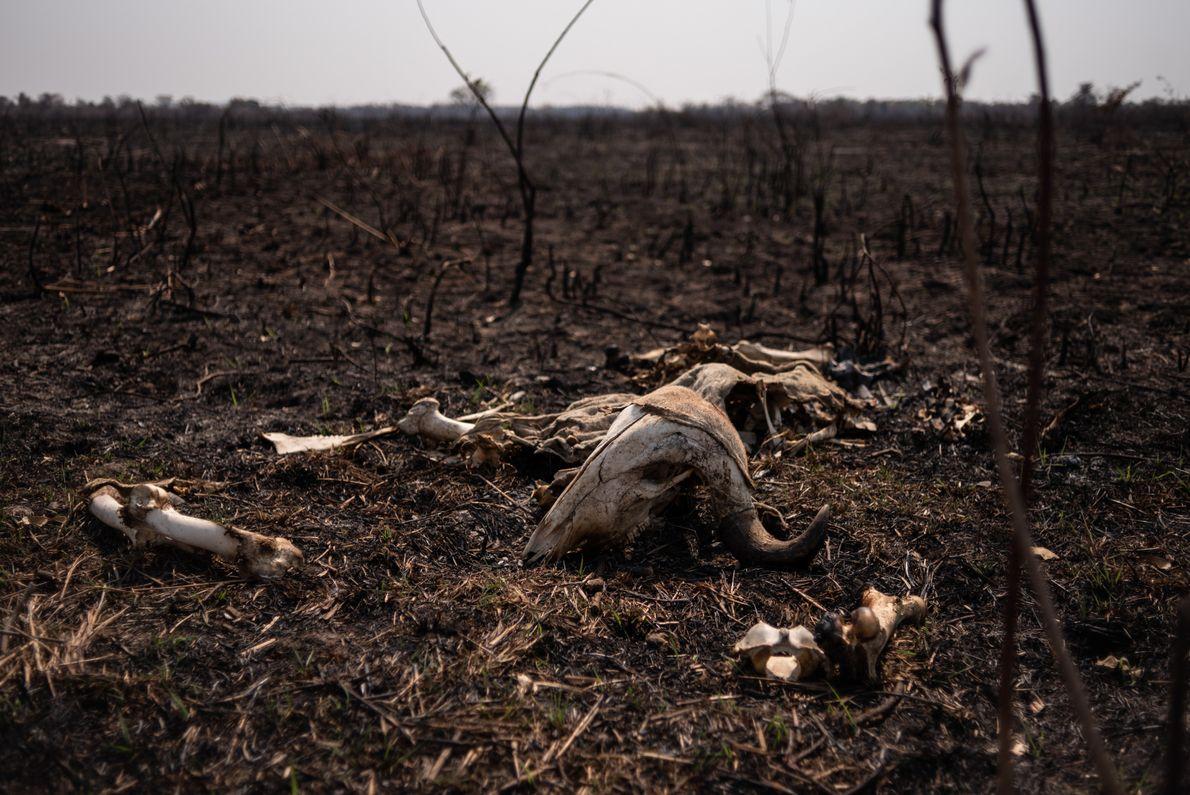 Pior temporada de queimadas das últimas décadas deixa cenário de devastação no Pantanal de Poconé (MT).