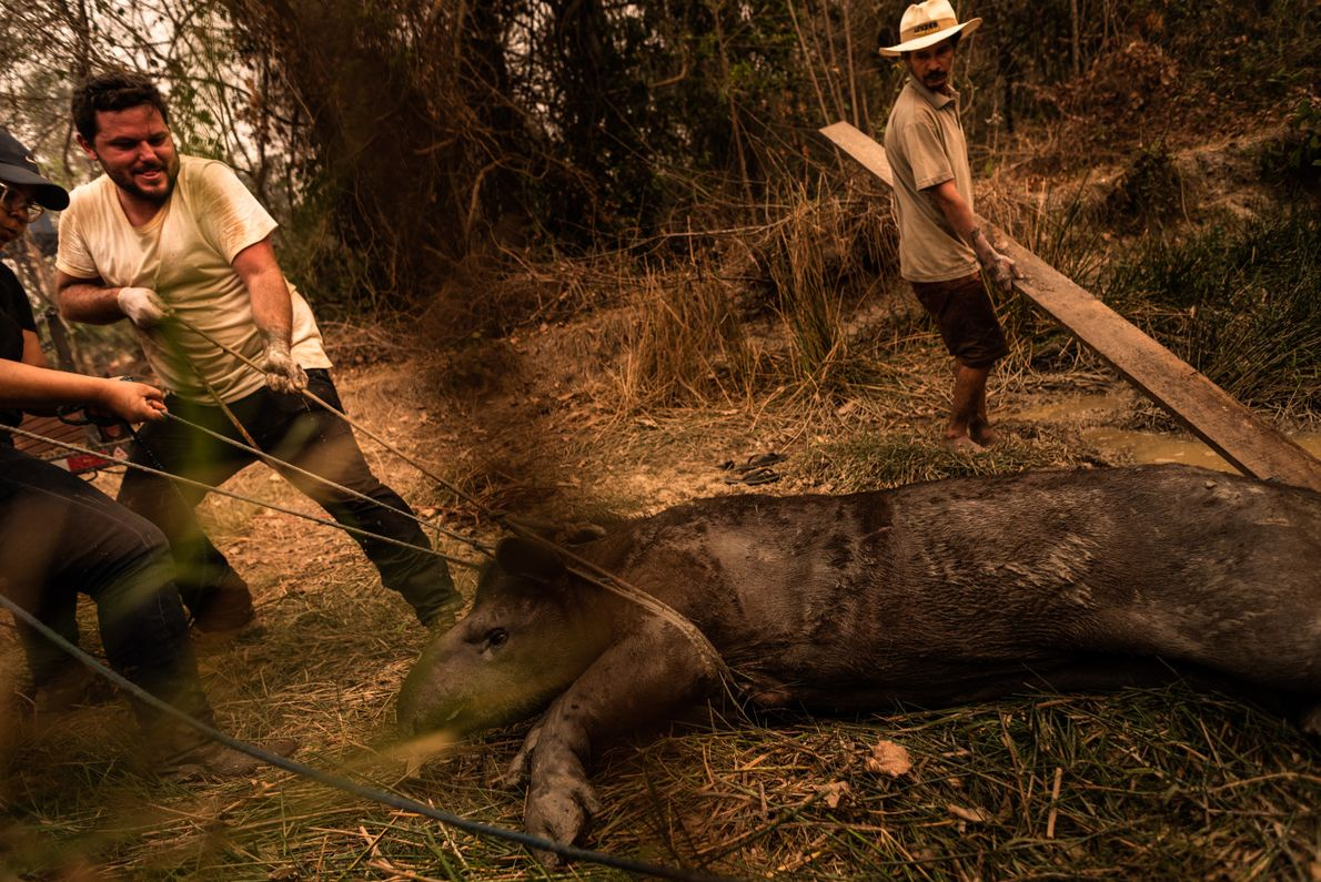 resgate de anta no pantanal