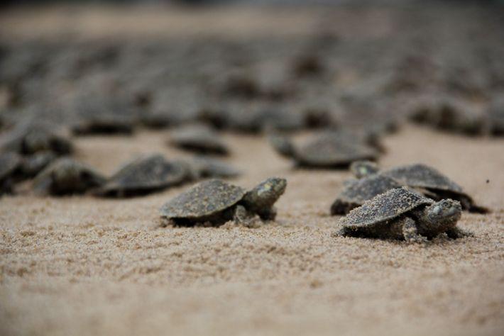 Até 220 mil ovos são botados nas praias da Reserva Biológica do Abufari, no Amazonas, todos ...