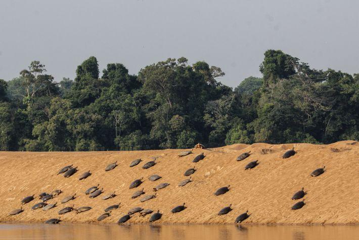 Na Reserva Biológica do Abufari, no Amazonas, cerca de 2 mil tartarugas botam ovos a cada ...