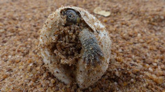 Filhote de tartaruga-da-amazônia no momento em que eclode do ovo em praia na Amazônia.