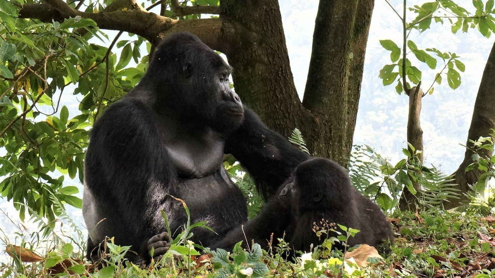 Mostrado na imagem com uma fêmea, Rafiki era líder de seu bando de 17 gorilas desde ...