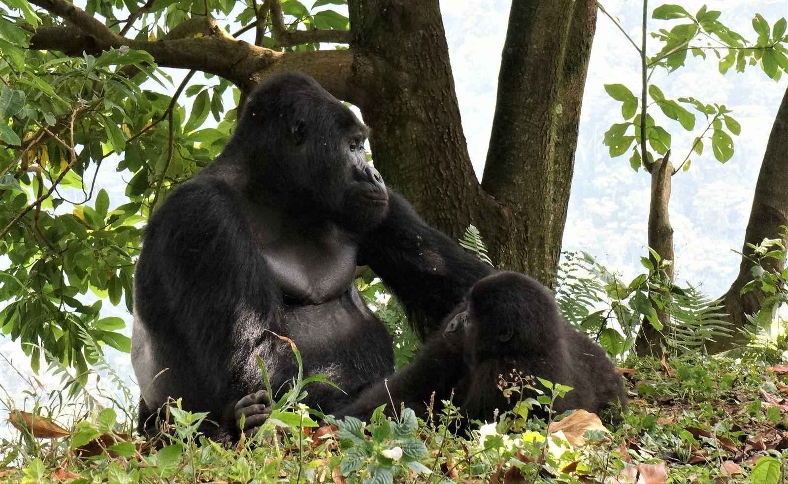 Adorado pelos turistas, famoso gorila é morto por caçadores em Uganda