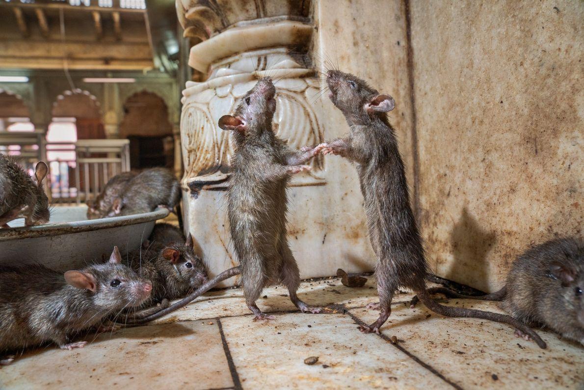 Dois ratos no templo Karni Mata, na Índia, decidem qual é o dominante. Esses roedores são ...