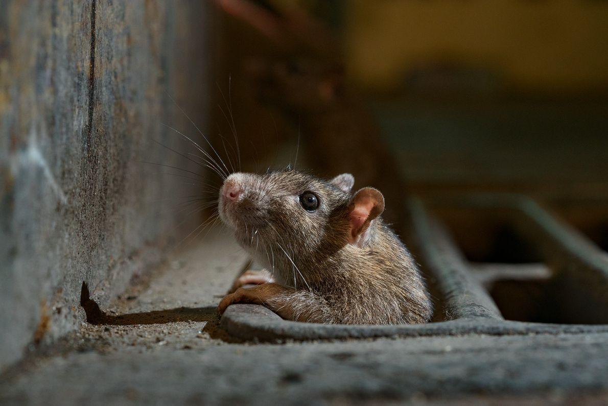 Tudo calmo? Um rato na cidade de Nova York coloca parte de seu corpo para fora ...