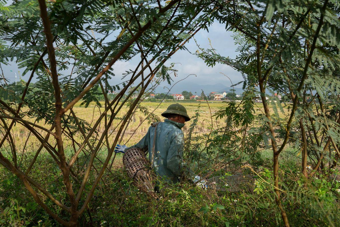 """O """"Sr. Thy"""" ronda as plantações em busca de ratos em Quang Ninh, em novembro de ..."""