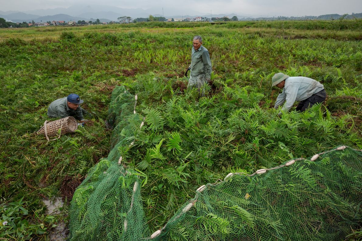 Caçadores de ratos montam uma rede em plantação de Quang Ninh. Em seguida, eles amassam a ...