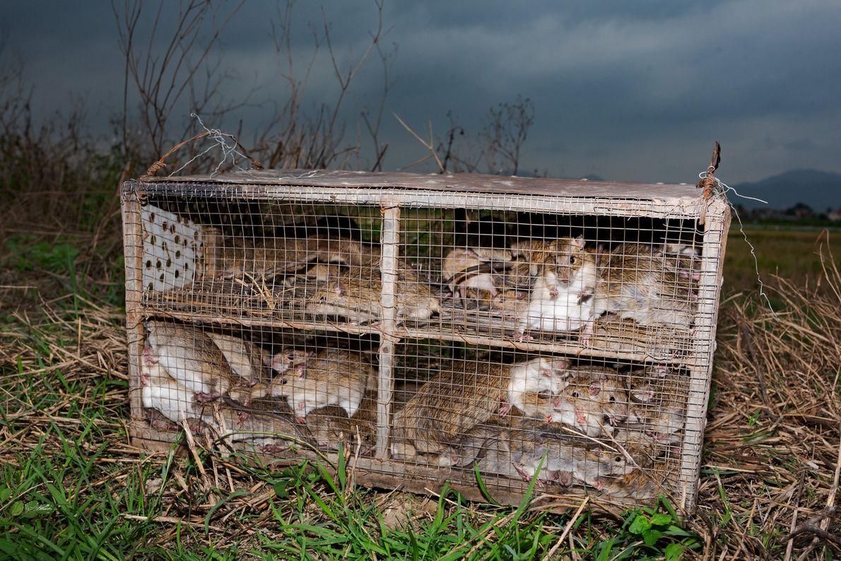 Ratos capturados na província de Quang Ninh são enjaulados antes de serem encaminhados a mercados e ...