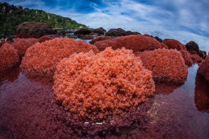 migracao-de-caranguejos-ilhachristmas-australia