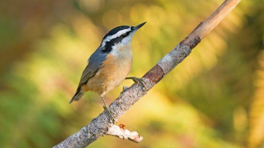 Trepadeiras-azuis-do-canadá podem ser vistas nos troncos de árvores em busca de insetos.