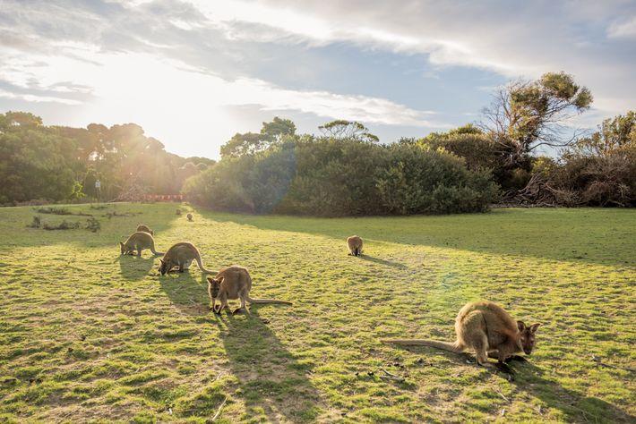 Wallabies, como os do Parque Nacional de Narawntapu, podem ser expostos ao herbicida atrazina em córregos ...