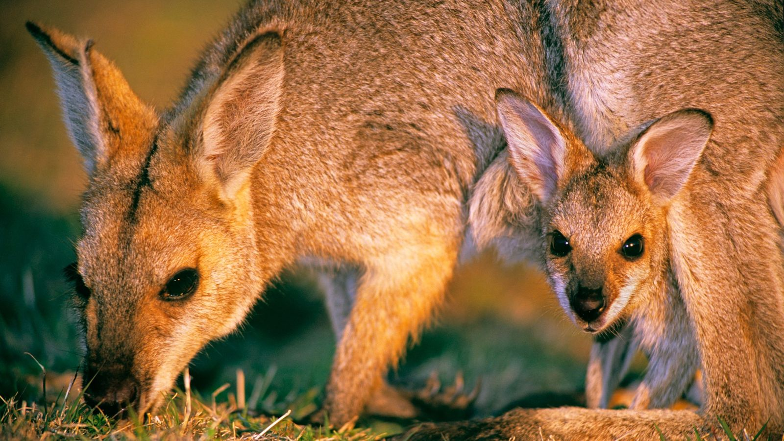Os wallabies, animais marsupiais, nascem do tamanho de jujubas e terminam seu desenvolvimento na bolsa de ...