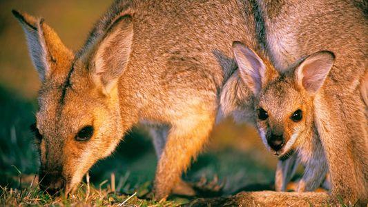 Cangurus expostos a herbicida apresentam anormalidades reprodutivas