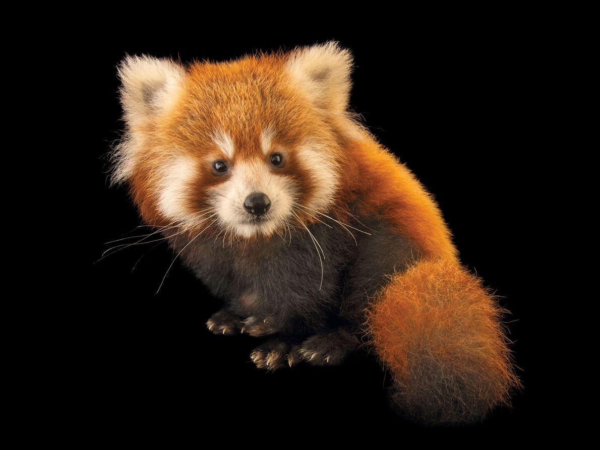 Panda-vermelho, Ailurus fulgens fulgens (em perigo de extinção)
