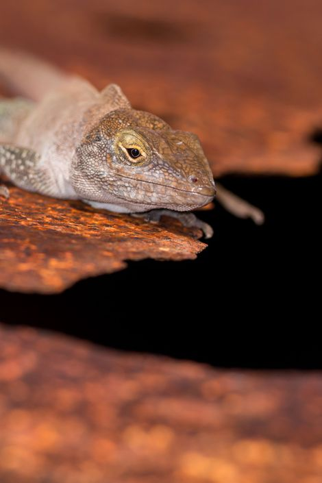 O lagarto da espécie Anolis nubilus foi um dos répteis recuperados após a retirada de espécies ...