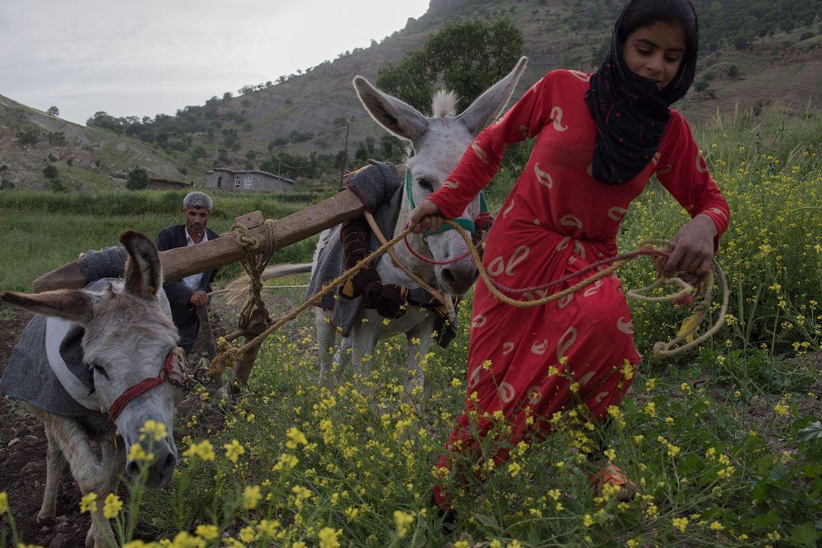 Um fazendeiro curdo e sua sobrinha preparam o campo para plantação de primavera nas montanhas perto ...