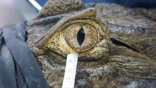 'Lágrimas de crocodilo' são surpreendentemente semelhantes às nossas